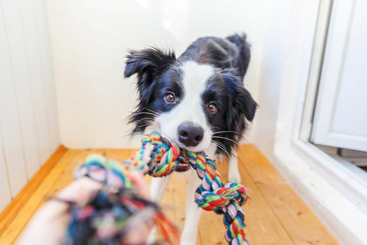 perro jugando cuerda